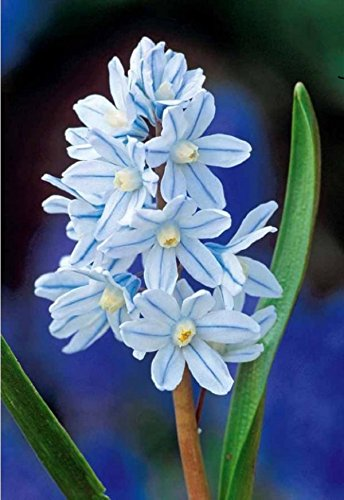 100-PUSCHKINIA-LIBANOTICA-RUSSIAN-SNOWDROP-SPRING-BULBS-AUTUMN-PLANTING-BLUE-FLOWER-LOOSE-HAND-GRADED-EASY-TO-GROW