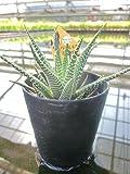 水耕栽培 苗 ハオルチア 十二の巻 ハオルシア