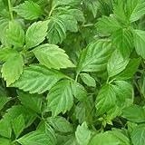 Bio Jiaogulan Pflanze - Kraut der Unsterblichkeit - Heilpflanze