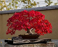 Beautiful Imported Japanese Red Maple Bonsai Tree Seeds Sold By- VasuWorld