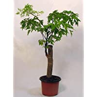 Ming Aralia Pre-Bonsai Tree - Polyscias fruticosa - Indoor - Thick Trunk -4
