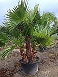 Riesige Washingtonia robusta mit 2-3 Stämmen. Zimmerpalme Gartenpalme 180-200 cm.