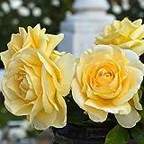 バラ苗 アンドレグランディエ (ベルサイユのばらシリーズ) 国産大苗6号スリット鉢 ハイブリッドティー (HT) 四季咲き大輪 黄色系
