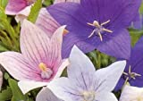 Amazon / Hirt's Gardens: Party Popper Balloon Flower 50 Seeds - Perennial
