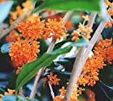 "Orange Flowering Fragrant Tea Olive (Osmanthus) (1 Gallon) 12-16"" Tall - Shipped in Pot W/soil !!"