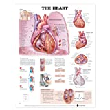 img - for The Heart Anatomical Chart book / textbook / text book
