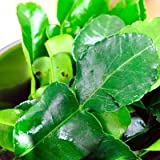 Fresh Kaffir Lime Leaves (Thai Lime Leaves) 1 Oz. (Tamaño: 1 Ounce)