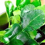 Fresh Kaffir Lime Leaves (Thai Lime Leaves) 1 Oz.