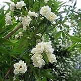 [まとめ植え!]モッコウバラ:白花八重3~3.5号ポット3株セット