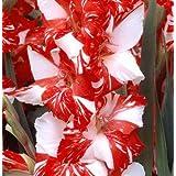 (2) Simply Beautiful Flowering Bulbs Gladiolus Zizane Extra Large Bulbs, Plant, Start Gladioli
