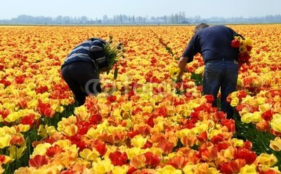 "Wallmonkeys Peel and Stick Wall Decals - Men Checking Tulips in a Tulip Field - 24""W x 15""H Removable Graphic"