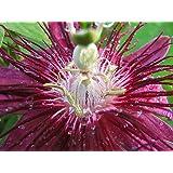 """Lady Margaret Passion Flower Plant - Passiflora - 4"""" Pot"""