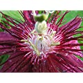 Lady Margaret Passion Flower Plant - Passiflora - 4