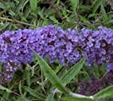 Nanho Blue Butterfly Bush (Buddleia) - Live Plant - 4 Inch Pot