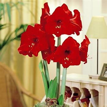 Pas cher hippeastrum amaryllis red lion 2 bulbes de for Bulbes de amaryllis