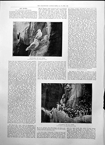 old-original-antique-victorian-print-kittiwakes-r-lodge-guillemots-r-lodge-royal-photographic-soc-18
