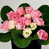(11月初旬以降お届け予約品) ☆宿根草 バラ咲き プリムラ ジュリアン いちごのミルフィーユ  1株