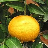 ナツミカン[夏みかん]4.5号ポット[4~5月収穫 柑橘・かんきつ類苗木]