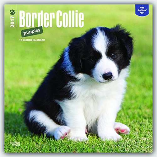 border-collie-puppies-2017-square-wall-calendar
