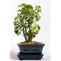Snowflake Ming Bonsai Tree - Great Indoor Bonsai - Ceramic Pot/Saucer