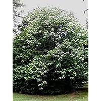 Paw Paw Trees - Banana fruit - Asimina triloba - PawPaw - 2 Plants - 3.25