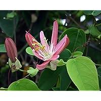 Kew Gardens Pink Passion Vine Plant - Passiflora x kewensis - Exotic! - 4