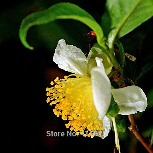 nuovo-raccolto-semi-cinesi-del-te-verde-albero-semi-freschi-camellia-sinensis-giardino-bonsai-te-ver