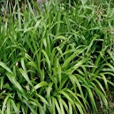 Outsidepride ornamental grass seed brown for Brown ornamental grass plants
