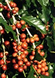 TROPICA - Dwarf Coffee (Coffea arabica nana) - 8 Seeds - Useful Plants