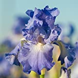 REBLOOMING Bearded Iris Victoria Falls - 1 Large Rhizome