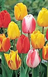 20 Tequila Sunrise Mixture Tulip Bulbs - Tulipa Darwin Hybrid