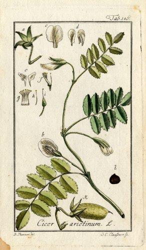 Chickpeas (Cicer arietinum)