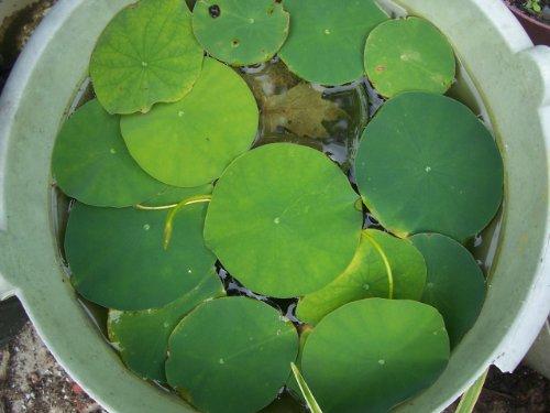 Live Water Lotus Plants-TWO PLANTS plus ONE FREE BONUS about 6