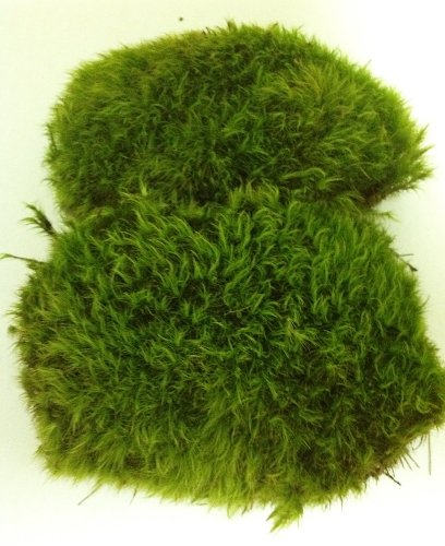 fresh-mood-moss-perfect-for-terrariums-and-bonsai