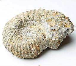 Agadir Ammonite Fossil 4-5\