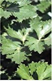 Just Seed - Vegetable - Parsley - Italian Giant - 2000 Seeds