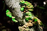 Forest Organics Glow in the Dark Mushroom Growing Habitat Log Pre-Inoculated