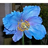 Lingholm Blue Himalayan Poppy 20 Seeds - Meconopsis