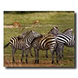 African Zebra Herd Wildlife Home Decor Wall Picture 16x20 Art Print