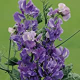 Suttons Seeds 134077 Noel Sutton Sweet Pea Seed