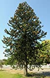 Tree Seeds Online - Araucaria Araucana - Monkey Puzzle. 3 Non Dormant Seeds - 1 Packs