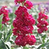 40+seeds/pack EVENING SCENTED STOCK CRIMSON RED FLOWER SEEDS / HIGHLY FRAGRANT ANNUAL