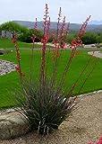 TROPICA - Red Yucca ( Hesperaloe parviflora) - 10 Seeds - Tropical Magic