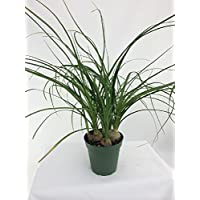 Hirt's Ponytail Palm - 4
