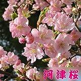 苗・庭木苗:桜の苗木 (河津桜)