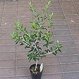 オリーブの木 鉢植え お洒落な高さ50-70サイズ 3.5号ポット苗
