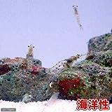 (海水魚 無脊椎)生餌 海洋性イサザアミ(5g) 本州・四国限定[生体]
