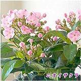 ニオイザクラ(におい桜)5号鉢植え:かご付き 誕生日に香りのプレゼント ピンクの可愛くにおいのいい桜のような花