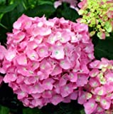 Let's Dance Moonlight ® PPAF Hydrangea Bush - REBLOOMING - Proven Winner