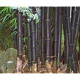 Exotic Plants Bambusa lako - bambou noir de Timor - 15 graines